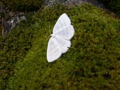 white moth on mossy rock.