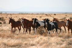 Horses on the move through the open range at Chico Basin Ranch. #ChicoBasinRanch