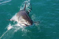 What's it like to go shark cage diving? I recently went great white shark cage diving in Gansbaai, near Cape Town and came face-to-face with a great white shark! Orcas, Great White Shark Diving, Visit South Africa, The Great White, Shark Bites, Dinghy, Adventure Activities, Whale Watching, What Is Like