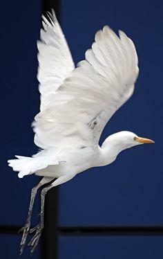 Si ves a una garza volar.. - Poesia, pensamientos y reflexiones.