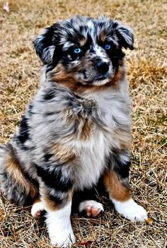 30 Outstanding Names For Australian Shepherd Dogs Do you have a fast paced life or love the great outdoors? Do you need a high energy dog that thrives on staying active? The Australian Shepherd may be the perfect dog for you! Australian Shepherd Puppies, Aussie Puppies, Cute Puppies, Cute Dogs, Dogs And Puppies, Doggies, Aussie Shepherd, Blue Merle Australian Shepherd, Mini Australian Shepherds