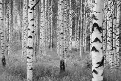 Vlies-Fototapete Birkenwald 98XXL4023