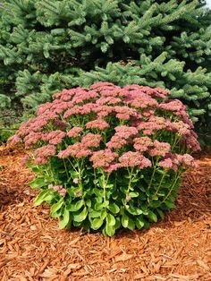 """Dependable, easy-care plants are always welcome in garden borders, but """"Autumn Joy"""" showy sedum (Sedum """"Autumn Joy,"""" syn. Sedum telephium """"Autumn Joy"""" and Sedum spectabile """"Autumn Joy"""") earns a special spot with its dazzling fall display. Fall Perennials, Full Sun Perennials, Shrubs For Full Sun, Flowering Bushes Full Sun, Full Sun Plants, Flowers Perennials, Garden Yard Ideas, Lawn And Garden, Garden Layouts"""