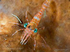 Metapenaeopsis sp. by SoulfulGarden #Underwater #fadighanemmd