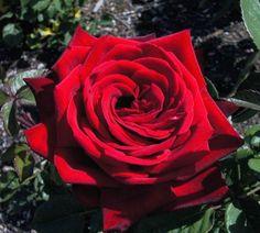 roza_wielkokwiatowa_bordowa_burgund.jpg (563×507)