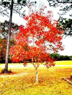 Parents Dogwood Tree