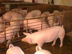 El precio del porcino, marcado en 2016 por una fuerte revalorización desde marzo