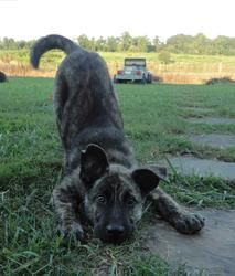Zeus is an adoptable Dutch Shepherd Dog in Scottsboro, AL. Zeus is a 14 week old pup whos breed we are unsure of but we think he is a Dutch Shepherd mix which means he will be a large dog! He is an en...