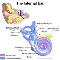 "The inner ear contains ampulla (the starting point of semicircular ducts) , scala vestibule and scala tympani both filled with perilymph, a cochlear duct filled with endolymph, a saccule, and a utricle. The structure of the inner ear is a fleshy tube (""balloon"") inside a bony tube (""cardboard""). The semicircular canals and the vestibular nerve are function for balance. The cochlear and cochlear nerve functions in hearing."