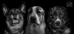 My dogs Alabai, Germany Shepherd
