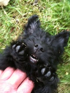 omg, looks like Mavis, I thought she was a shnoodle?! can she be a scottie??