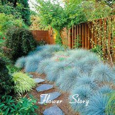 100 Blue Fescue Grass Seeds - (Festuca glauca) perennial hardy ornamental grass so easy to grow