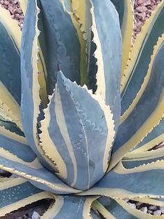 Agave..my very favourite houseplant!