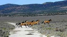 """""""It is undeniable the BLM . . . is quietly and intentionally enabling extinction of wild equine herds."""""""