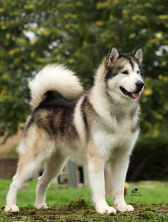 No, it's not a husky. This is an Alaskan Malamute. For a companion, when I live in the country.