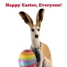 Easter whippet