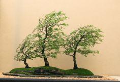 ...Windswept Bonsai...