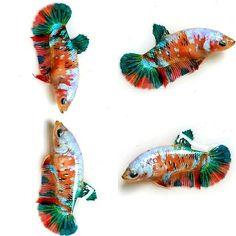 Orange koi galaxy Aquarium, Apartment Living, Living Room, Beta Fish, Fish Tanks, Painting, Animals, Strange Animals, Pisces