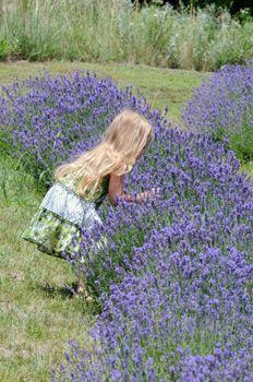 Treat your Nose and Participate in a Lavender Harvest, Prairie Lavender Farm, Benington