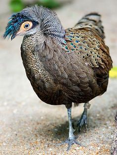 Malayan peacock-pheasant (Polyplectron malacense) is one of the shortest-tailed peacock-pheasants.
