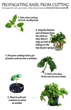 propagating basil from cuttings - 101 Gardening Organic Gardening, Gardening Tips, Basil Plant, Garden Stepping Stones, Growing Herbs, Plantation, Edible Garden, Dream Garden, Garden Plants