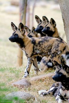 Painted Dog pups @ Cincinnati Zoo & Botanical Garden