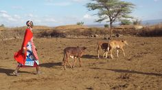 Maasai tending their cattle