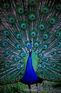 벗꽃날리는 호암미술관_ 푸른 깃털의 공작새 한마리