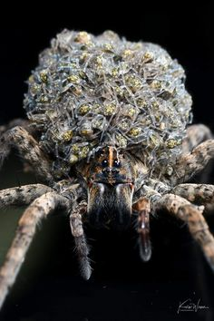 A beautiful mother Wolf spider carrying her babies. Photo by Kevin Wiener --- Wolf Spider, A Bug's Life, Animal Facts, Zoology, Beautiful Creatures, Funny Animals, Wildlife, Herbs, This Or That Questions