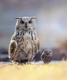 Mother and baby owls Nature Animals, Animals And Pets, Cute Animals, Owl Photos, Owl Pictures, Family Pictures, Beautiful Owl, Animals Beautiful, Owl Bird