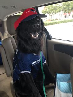 """My dad just sent me this picture of our dog Travis ready to """"whoop some Seahawk ass"""" tonight. http://ift.tt/2fp4u2D"""