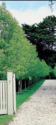 A row of Pyrus Capital - pears. Very Paul Bangay! would be great along neighbouring boundary
