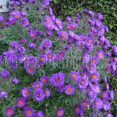 image de Aster sp. Aster, Quebec, Dimensions, Photos, Deco, Garden, Fast Growing, Flower Colors, Index Cards