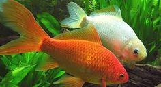 Resultado de imagen para peces que no necesitan oxigeno