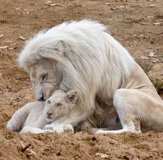 White Lion and Cub