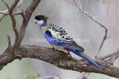 Northern Rosella or Brown's Parakeet or Smutty Rosella (Platycercus venustus)