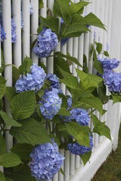 Beautiful pics of a New England Garden Tour. Gardens Of The World, Hydrangeas, Amazing Gardens, Outdoor Spaces, New England, Fence, Beautiful Pictures, Home And Garden, Gardening