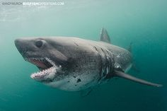 Diving with Salmon Sharks in Alaska. Swim with salmon sharks in Prince William Sound.