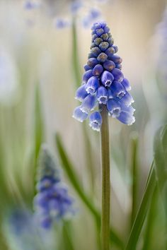 Muscari by Mandy Disher Florals, via Flickr