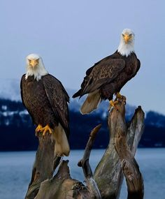 northedelweiss:    Perched eagles at Homer, Alaska