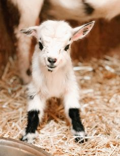 Baby Goat Baby Goat Newly born Nigerian Dwarf Baby Goats here at Thermaland Oaks Homestead<br> Baby Farm Animals, Baby Animals Super Cute, Baby Animals Pictures, Cute Animal Photos, Cute Little Animals, Cute Funny Animals, Pigmy Goats, Dwarf Baby, Cute Goats