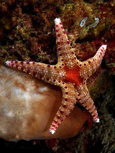 Underwater Macro Photography Subjects- Sea stars