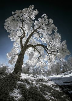 I like Pictures | coffeenuts: Luminescent Tree IR by byron bauer...