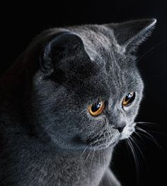 10 Most Popular Flat Faced Cat Breeds in The World - British Shorthair - Ideas of British Shorthair - British Shorthair portrait The post 10 Most Popular Flat Faced Cat Breeds in The World appeared first on Cat Gig. Grey Cats, Blue Cats, Kittens Cutest, Cats And Kittens, British Blue Cat, Flat Faced Cat, Chartreux Cat, Super Cat, British Shorthair