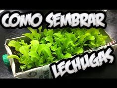 Como Sembrar Lechugas Con Exito , El Semillero || La Huertina De Toni - YouTube