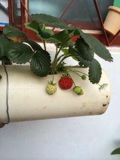 BEM VINDOS AO MIHOR - MINI HORTAS : Horta em cano de pvc Planter Pots, Strawberry Patch, Vertical Vegetable Gardens, Canoe, Gardens, Ideas, Growing Plants, Growing Up