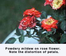 Figure Powdery mildew on rose flower. Rose Diseases, Powdery Mildew, Backyard Patio, House Plants, Home And Garden, Ohio, Lawn, Flowers, Deck