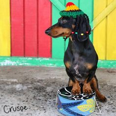 "Crusoe the celebrity dachshund — ""Just want to say, hope you had a happy day"" ~..."