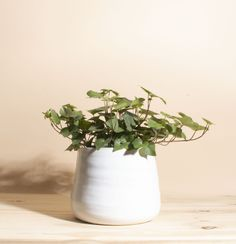 English Ivy House Plant in Handcrafted White Ceramic Planter - English Ivy / White