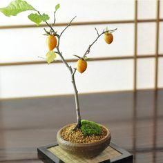 老爺柿(ロウヤガキ)のミニ盆栽